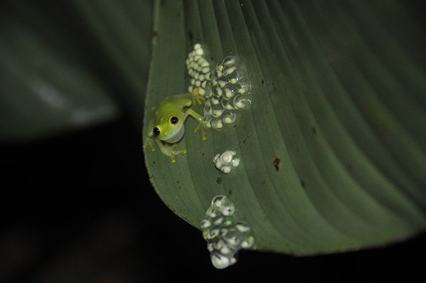 american green tree frog eggs - photo #10