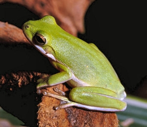 American Green Tree Frog Facts and Pictures