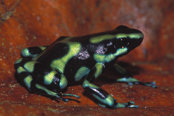 Green and Black Poison Dart Frog | Amphibian Fact