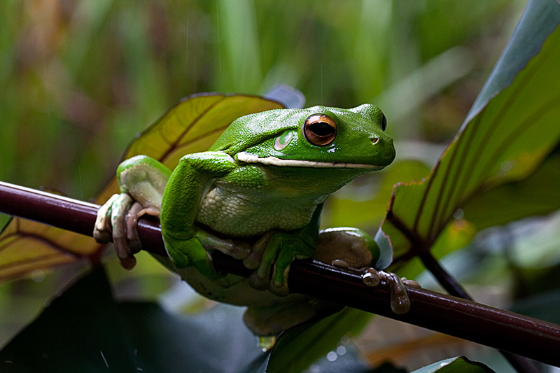 White Lipped Tree Frog Facts and Pictures