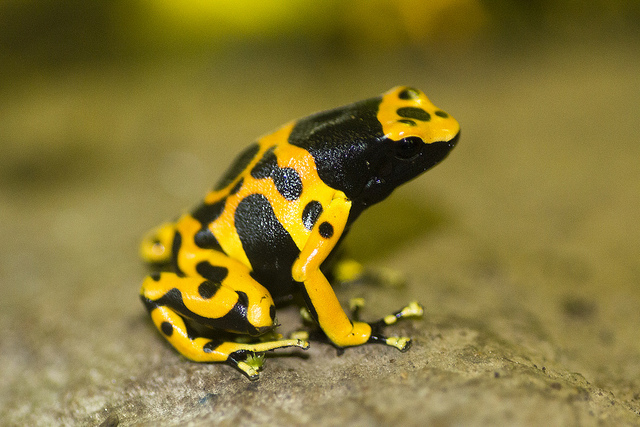 Yellow-Banded-Poison-Dart-Frog-Images.jp
