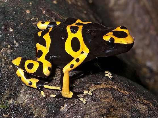 Yellow Banded Poison D...
