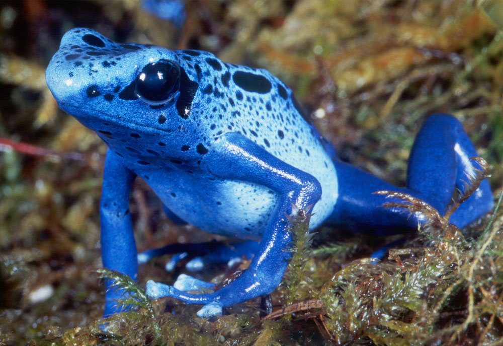 Blue Poison Dart Frog Facts and Pictures | Amphibian Fact