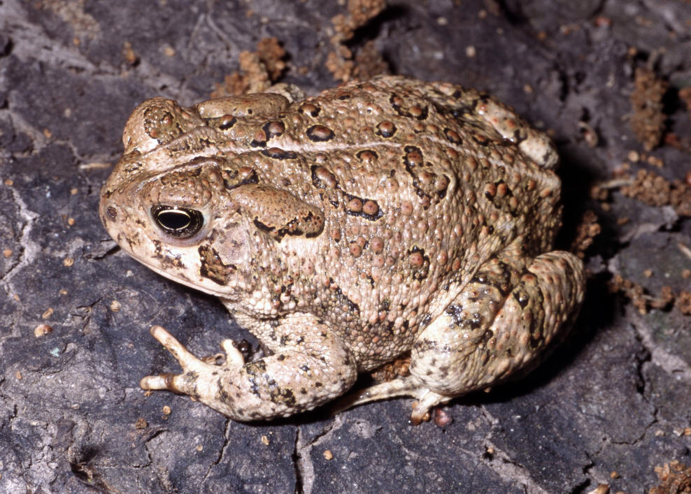 Woodhouse S Toads