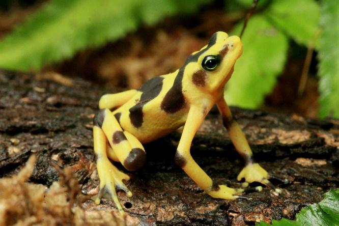 Panamanian Golden Frog...