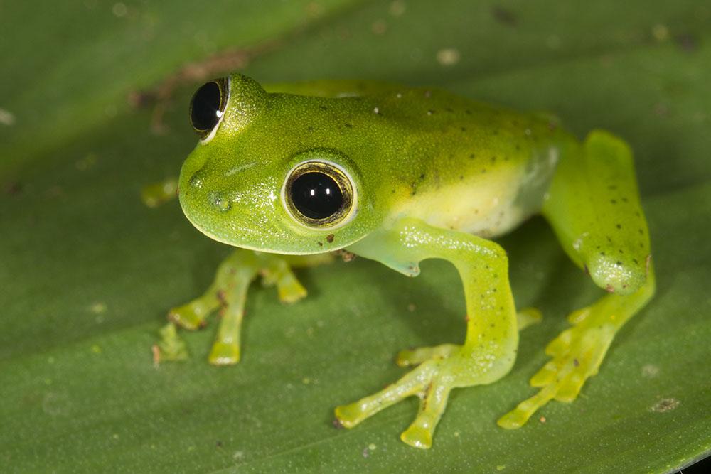 glass frog 4