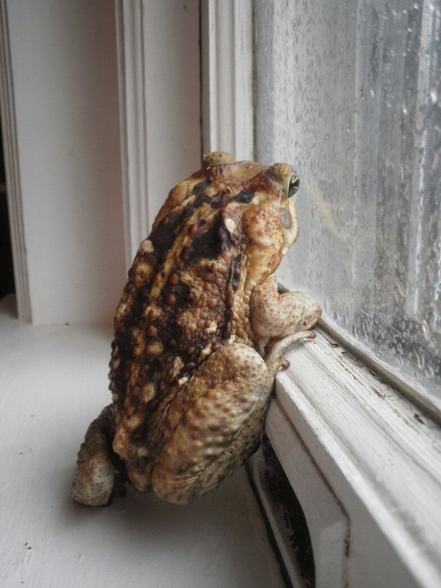 American Toad Facts and Pictures