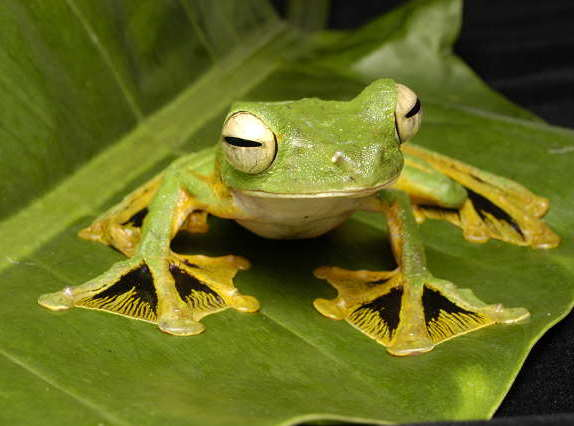 Asian golden tree frog facts