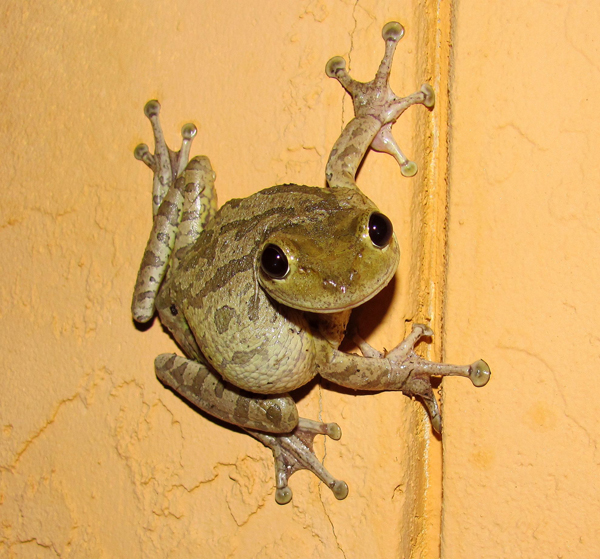 Cuban Tree Frog Facts And Pictures